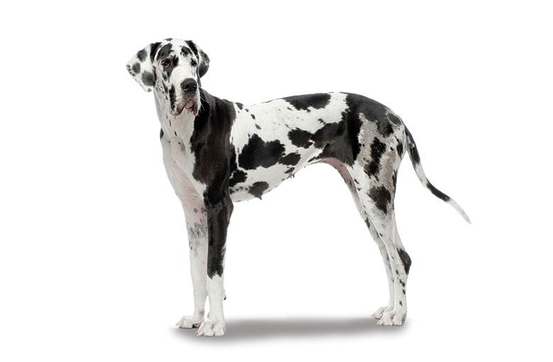 Race prédisposée à la torsion dilatation : le dogue allemand